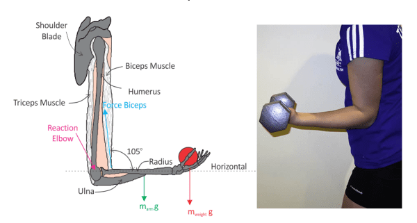 Elbow diagram with another pic beside showing a person's elbow holding a dumbbell at a 90 degree angle.
