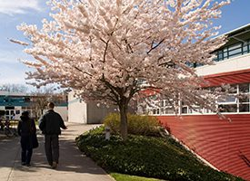 Large image of a pink cherry blossom tree and two people walking beside it on the sidewalk..