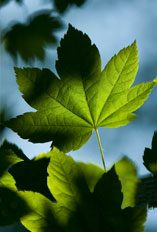 Image of green maple leaves.