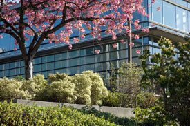 Photo of tree with pink cherry blossoms and green shrubs and bushes outside of building.