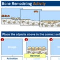 Diagram of bone remodelling activity various stages.